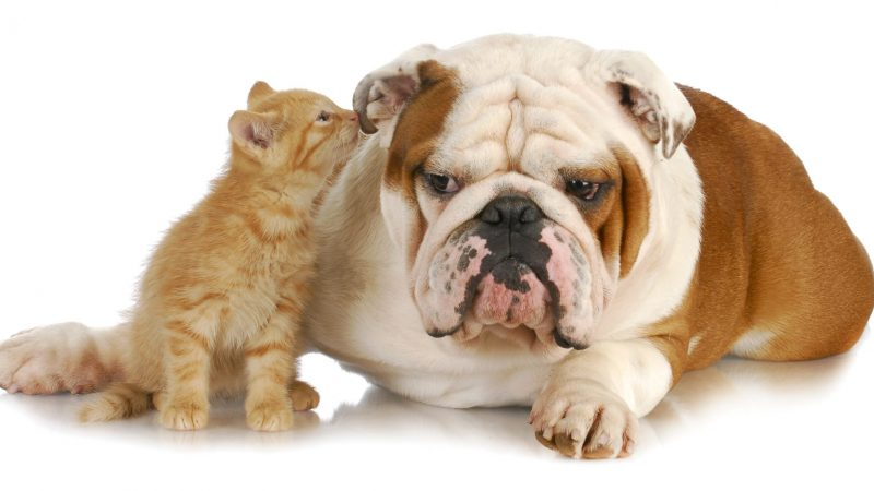 cat and dog - cute kitten whispering into english bulldogs ear on white background