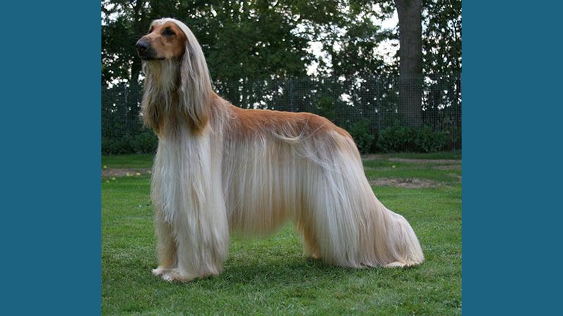 Afghan Hound 1