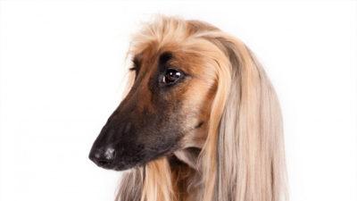 Afghan Hound 13