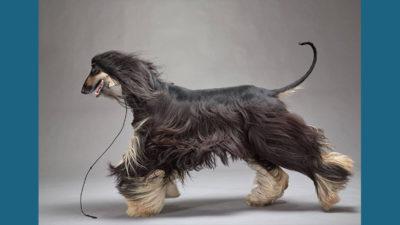 Afghan Hound 14