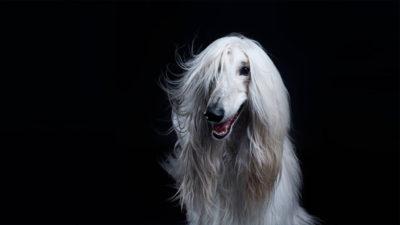 Afghan Hound 16