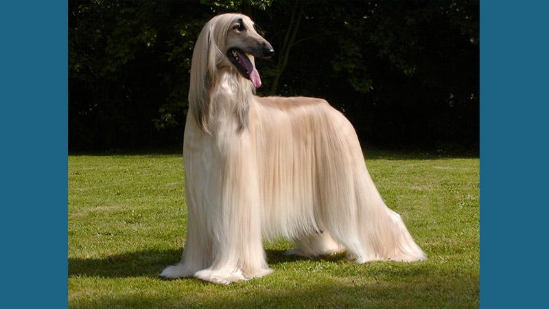 Afghan Hound 4