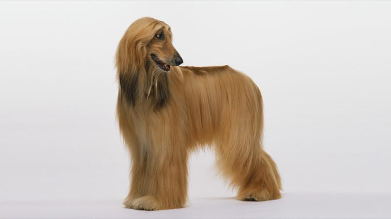 Afghan Hound 6