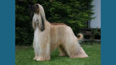 Afghan Hound 7
