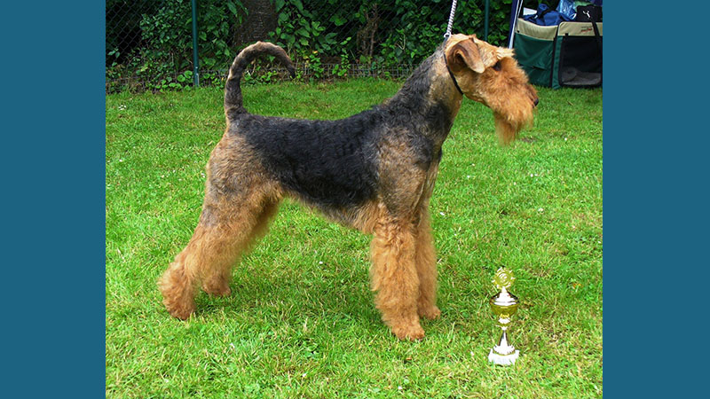 Airedale Terrier 1