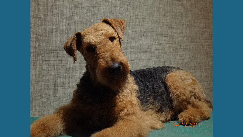 Airedale Terrier 10