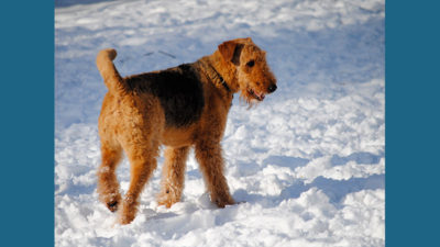 Airedale Terrier 11
