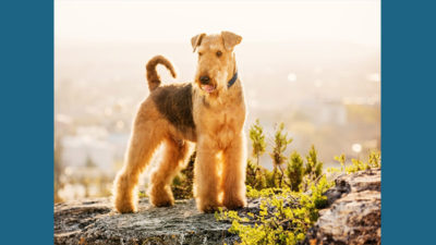 Airedale Terrier 12