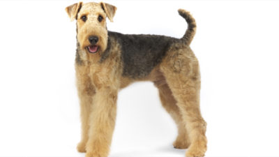 Airedale Terrier 13