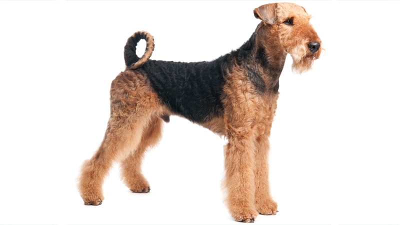 Airedale Terrier 14