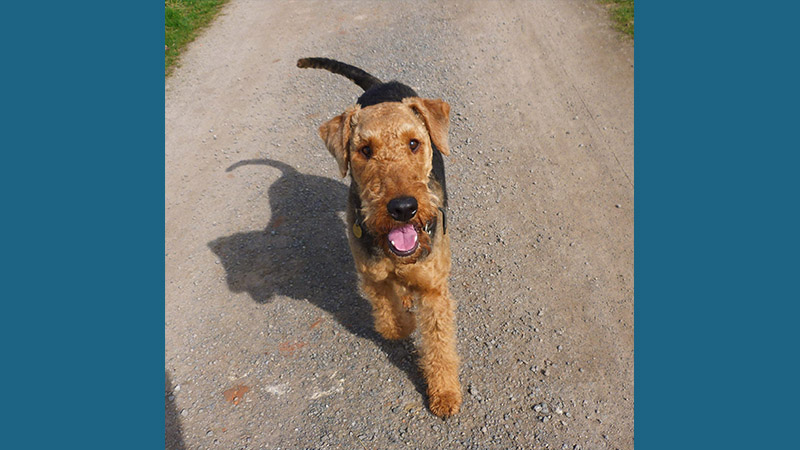 Airedale Terrier 4