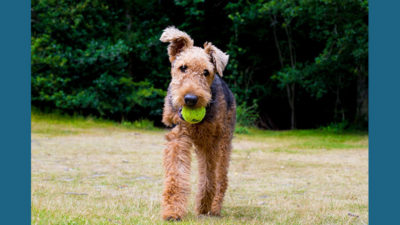 Airedale Terrier 5