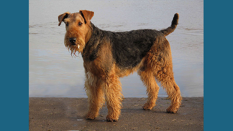 Airedale Terrier 6