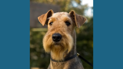 Airedale Terrier 8