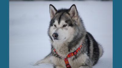 Alaskan Malamute 14