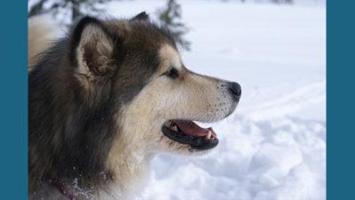 Alaskan Malamute 8