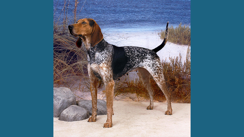 American English Coonhound 2