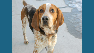 American English Coonhound 5