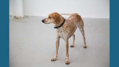 American English Coonhound 6
