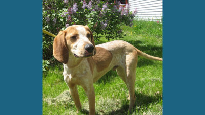 American English Coonhound 7