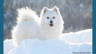American Eskimo Dog 10