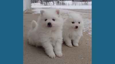 American Eskimo Dog 12