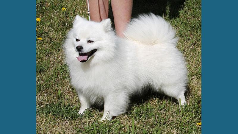 American Eskimo Dog 5