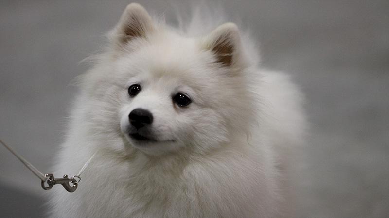 American Eskimo Dog 8