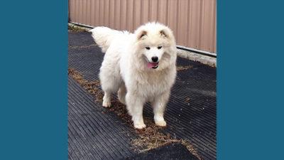 American Eskimo Dog 9