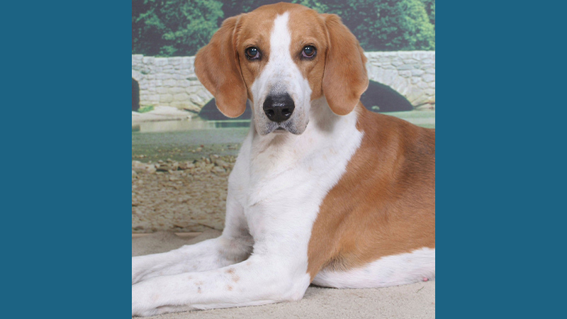 American Foxhound 2