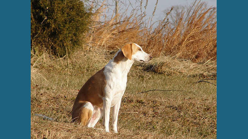 American Foxhound 3