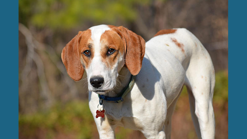 American Foxhound 8