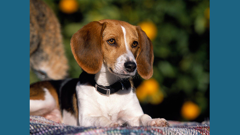 American Foxhound 9