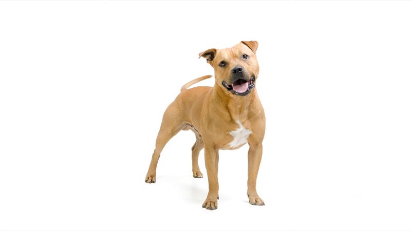 American PitBull Terrier 10