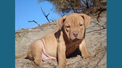 American PitBull Terrier 11
