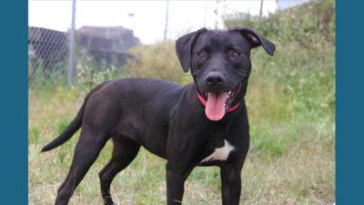 American PitBull Terrier 12