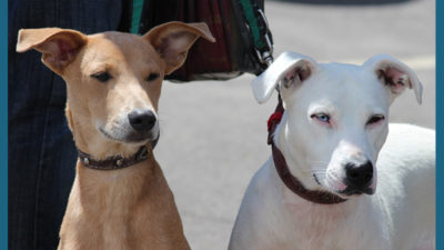 American PitBull Terrier 13