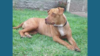 American PitBull Terrier 4