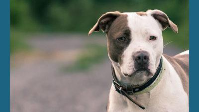 American PitBull Terrier 6