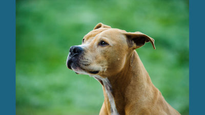 American PitBull Terrier 7