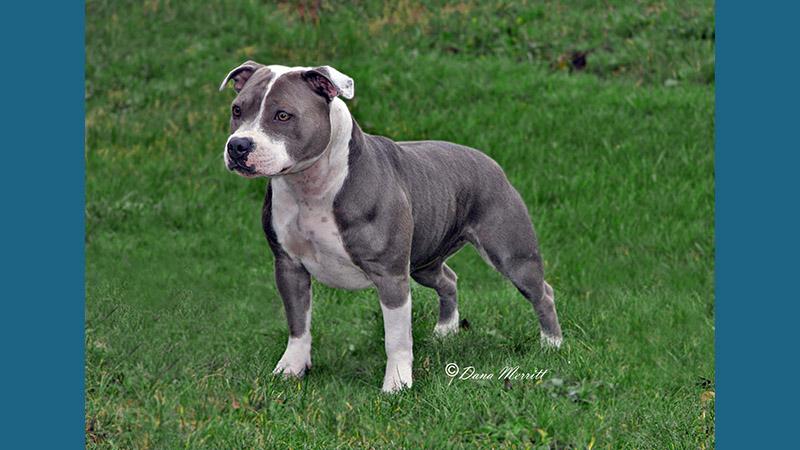 American PitBull Terrier 9