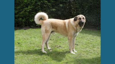 Anatolian Shepherd Dog 1