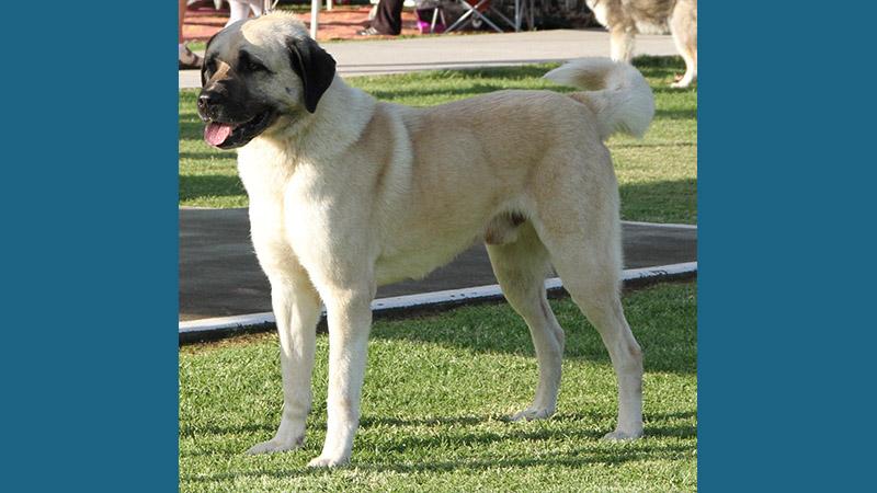 Anatolian Shepherd Dog 10