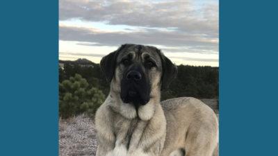 Anatolian Shepherd Dog 11