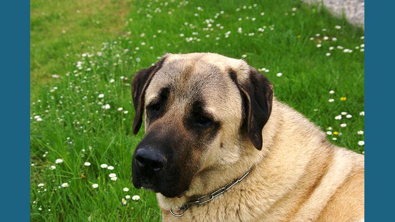 Anatolian Shepherd Dog 12