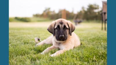Anatolian Shepherd Dog 13