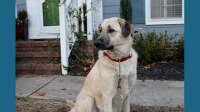 Anatolian Shepherd Dog 2