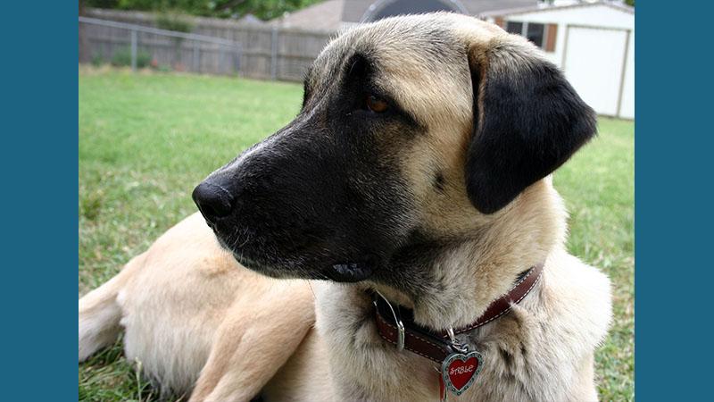 Anatolian Shepherd Dog 5