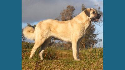 Anatolian Shepherd Dog 6