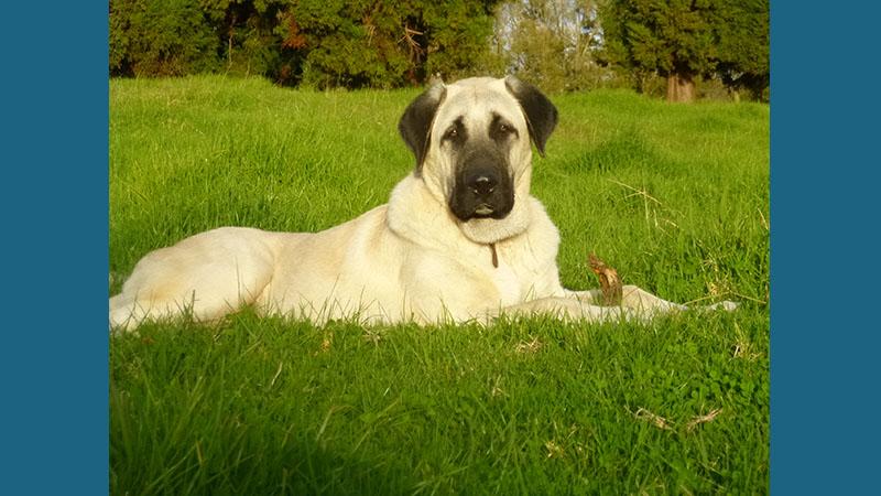 Anatolian Shepherd Dog 7